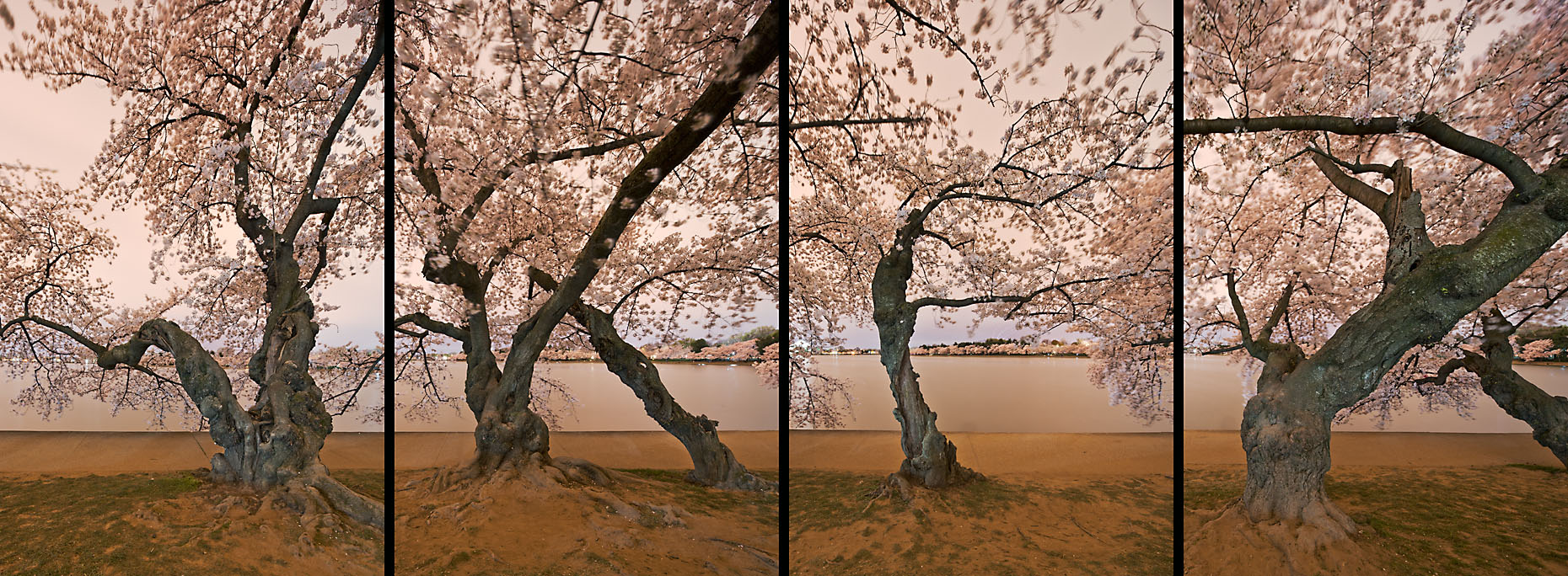 Cherry Blossom Trees Landscape Photographs Washington DC